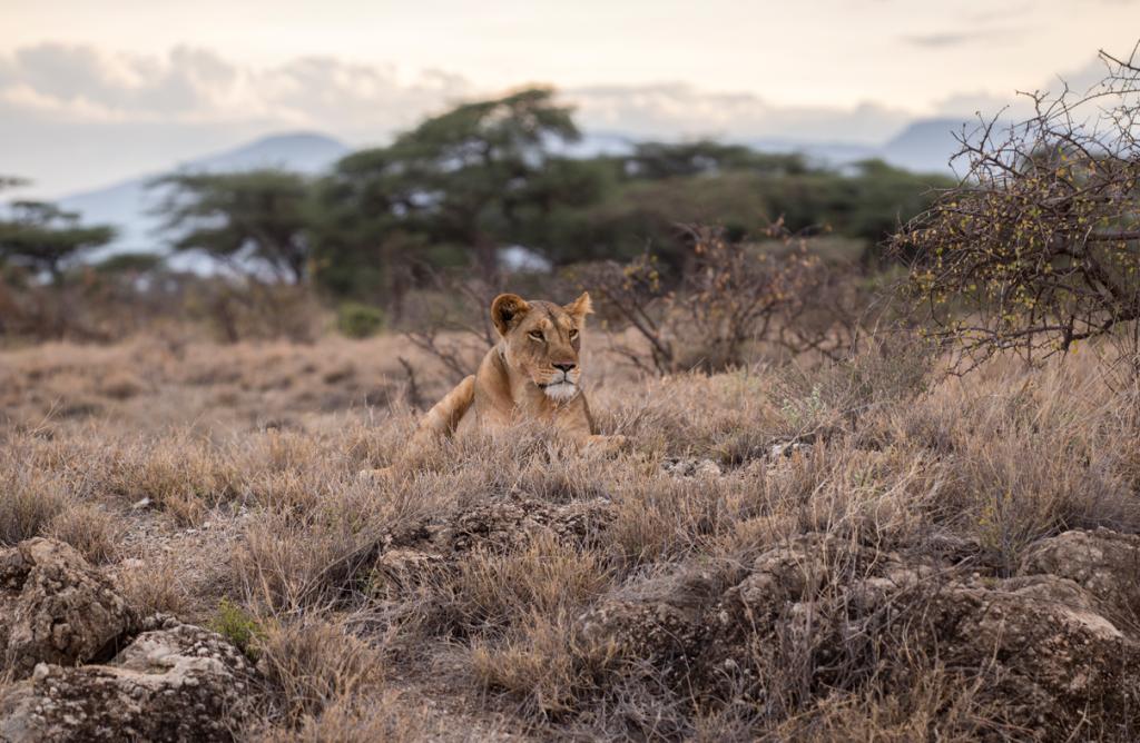 Single Lion